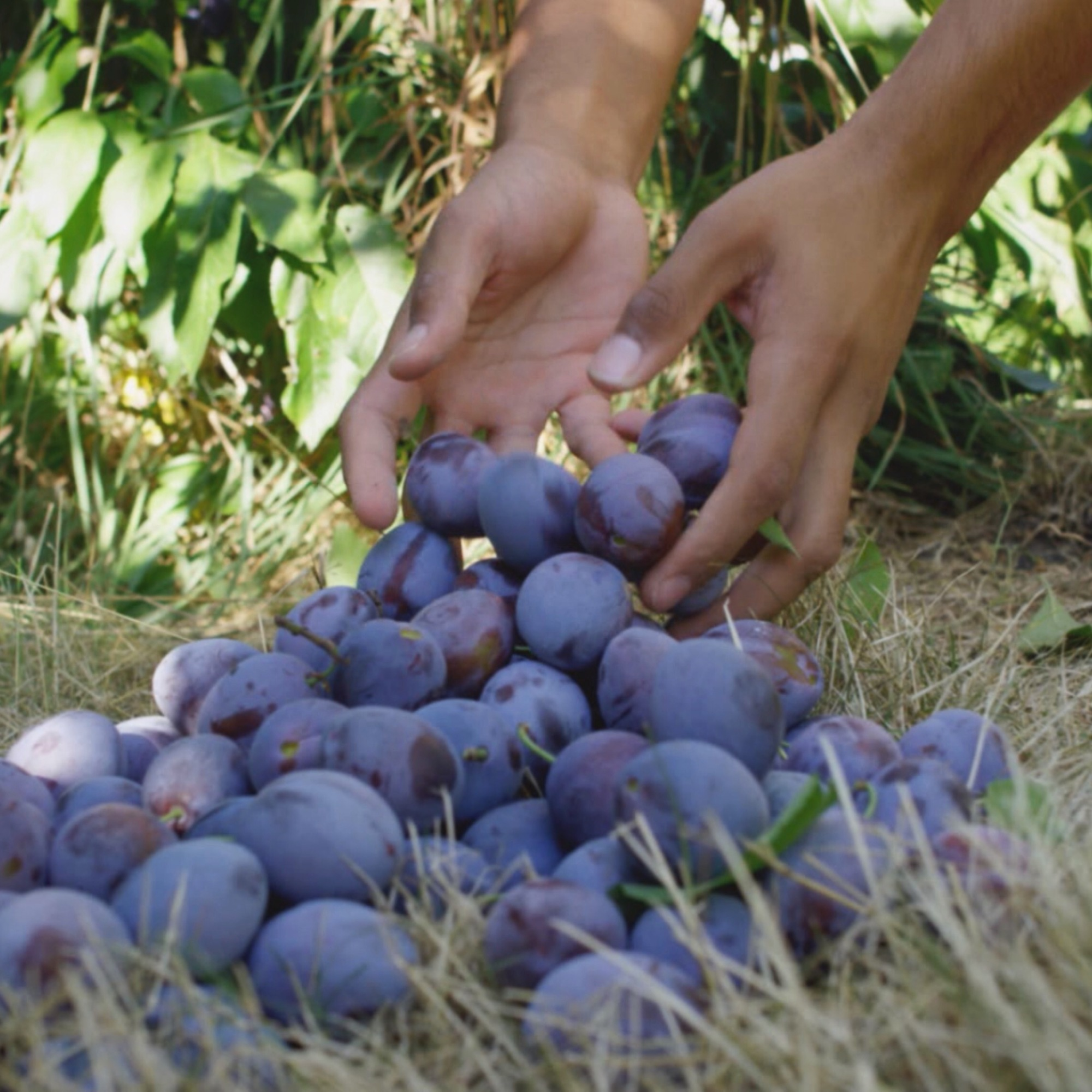 Hands gathering plums