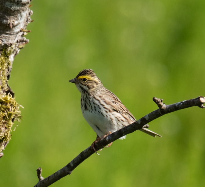 Savannah sparrows depend on healthy grasslands and meadows for food and places to raise their young.